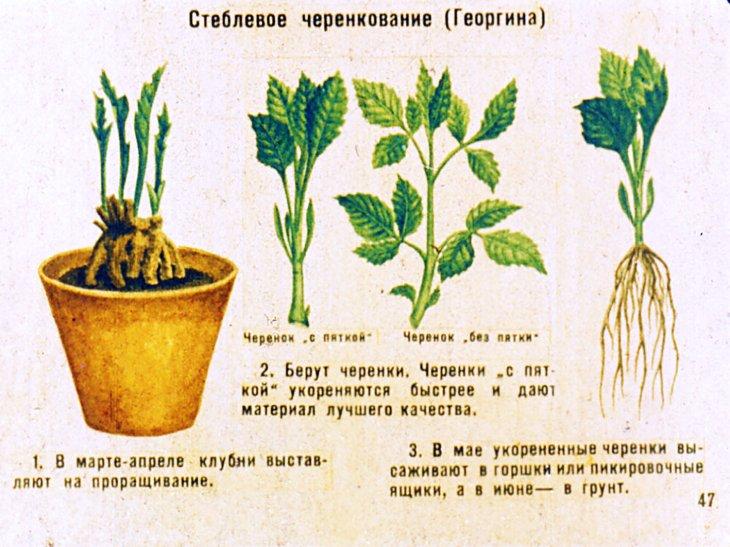 размножение георгин
